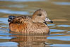 American wigeon, female. Socorro, New Mexico, USA. Image #26215