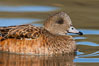 American wigeon, female. Socorro, New Mexico, USA. Image #26262