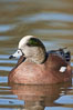 American wigeon, male. Socorro, New Mexico, USA. Image #26278