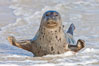 Pacific harbor seal, on sand at the edge of the sea. La Jolla, California, USA. Image #26315