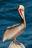 California brown pelican, showing characteristic winter plumage including red/olive throat, brown hindneck, yellow and white head colors. La Jolla, California, USA. Image #26462