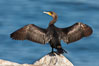 Double-crested cormorant drys its wings in the sun following a morning of foraging in the ocean, La Jolla cliffs, near San Diego. La Jolla, California, USA. Image #26529