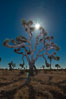 Joshua tree, moonlit night.  The Joshua Tree is a species of yucca common in the lower Colorado desert and upper Mojave desert ecosystems. Joshua Tree National Park, California, USA. Image #26721