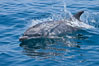 Bottlenose dolphin, breaching the surface of the ocean, offshore of San Diego. California, USA. Image #26805