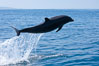 Bottlenose dolphin, leaping over the surface of the ocean, offshore of San Diego. San Diego, California, USA. Image #26808