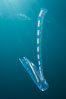 Pelagic tunicate reproduction, large single salp produces a chain of smaller salps as it reproduces while adrift on the open ocean. San Diego, California, USA. Image #26820