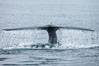 Water falling from a blue whale fluke as the whale dives to forage for food in the Santa Barbara Channel. Santa Rosa Island, California, USA