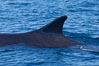 Fin whale dorsal fin. The fin whale is the second longest and sixth most massive animal ever, reaching lengths of 88 feet. La Jolla, California, USA. Image #27110