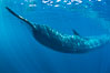 Fin whale underwater.  The fin whale is the second longest and sixth most massive animal ever, reaching lengths of 88 feet. La Jolla, California, USA. Image #27113