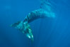 Fin whale underwater.  The fin whale is the second longest and sixth most massive animal ever, reaching lengths of 88 feet. La Jolla, California, USA. Image #27116