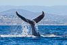 A humpback whale raises it fluke out of the water, the coast of Del Mar and La Jolla is visible in the distance. Del Mar, California, USA. Image #27130