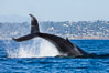 A humpback whale raises it fluke out of the water, the coast of Del Mar and La Jolla is visible in the distance. Del Mar, California, USA. Image #27141