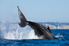 A humpback whale raises it fluke out of the water, the coast of Del Mar and La Jolla is visible in the distance. Del Mar, California, USA. Image #27142