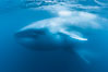 Blue whales feeding on krill underwater closeup photo.  A picture of a blue whale with its throat pleats inflated with a mouthful of krill. A calf swims behind and below the adult. Over 80' long and just a few feet from the camera, an extremely wide lens was used to photograph the entire enormous whale. California, USA. Image #27314