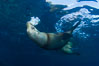 California sea lion injured by fishing line. Sea of Cortez, Baja California, Mexico. Image #27425