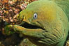 Panamic Green Moray Eel, Sea of Cortez, Baja California, Mexico. Sea of Cortez, Baja California, Mexico. Image #27467