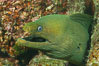 Panamic Green Moray Eel, Sea of Cortez, Baja California, Mexico. Sea of Cortez, Baja California, Mexico. Image #27469