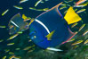 King angelfish in the Sea of Cortez, Mexico. Sea of Cortez, Baja California, Mexico. Image #27470