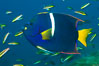 King angelfish in the Sea of Cortez, Mexico. Sea of Cortez, Baja California, Mexico. Image #27471