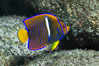 Juvenile King angelfish in the Sea of Cortez, Mexico. Baja California. Image #27473