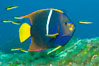 King angelfish in the Sea of Cortez, Mexico. Sea of Cortez, Baja California, Mexico. Image #27474