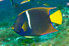 King angelfish in the Sea of Cortez, Mexico. Sea of Cortez, Baja California, Mexico. Image #27475