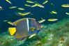 King angelfish in the Sea of Cortez, Mexico. Sea of Cortez, Baja California, Mexico. Image #27477
