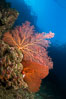 Reef with gorgonians and marine invertebrates, Sea of Cortez, Baja California, Mexico. Sea of Cortez, Baja California, Mexico. Image #27503