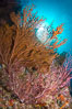 Reef with gorgonians and marine invertebrates, Sea of Cortez, Baja California, Mexico. Sea of Cortez, Baja California, Mexico. Image #27508