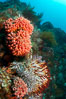 Reef with gorgonians and marine invertebrates, Sea of Cortez, Baja California, Mexico. Sea of Cortez, Baja California, Mexico. Image #27509