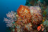 Reef with gorgonians and marine invertebrates, Sea of Cortez, Baja California, Mexico. Sea of Cortez, Baja California, Mexico. Image #27510