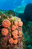 Orange cup coral clusters on rocky reef. Sea of Cortez, Baja California, Mexico. Image #27529