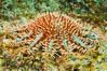 Panamic crown of thorns sea star. Sea of Cortez, Baja California, Mexico. Image #27531