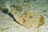 Bullseye torpedo electric ray, Sea of Cortez, Baja California, Mexico. Sea of Cortez, Baja California, Mexico. Image #27543