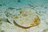 Bullseye torpedo electric ray, Sea of Cortez, Baja California, Mexico. Image #27545