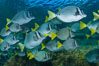 Yellow-tailed surgeonfish schooling, Sea of Cortez, Baja California, Mexico. Image #27565