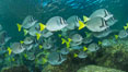 Yellow-tailed surgeonfish schooling, Sea of Cortez, Baja California, Mexico. Image #27566