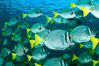 Yellow-tailed surgeonfish schooling, Sea of Cortez, Baja California, Mexico. Image #27571