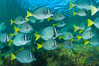 Yellow-tailed surgeonfish schooling, Sea of Cortez, Baja California, Mexico. Image #27573