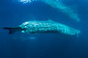 Fin whale underwater. The fin whale is the second longest and sixth most massive animal ever, reaching lengths of 88 feet. Image #27597