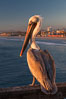 California brown pelican on Oceanside Pier, sitting on the pier railing, sunset, winter. Oceanside Pier, Oceanside, California, USA. Image #27607
