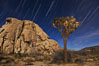 Joshua trees and star trails, moonlit night. The Joshua Tree is a species of yucca common in the lower Colorado desert and upper Mojave desert ecosystems. Joshua Tree National Park, California, USA. Image #27710