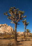 Joshua tree and stars, moonlit night. The Joshua Tree is a species of yucca common in the lower Colorado desert and upper Mojave desert ecosystems. Joshua Tree National Park, California, USA. Image #27714