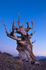 Ancient bristlecone pine tree in the White Mountains, at an elevation of 10,000' above sea level.  These are some of the oldest trees in the world, reaching 4000 years in age. Ancient Bristlecone Pine Forest, White Mountains, Inyo National Forest, California, USA. Image #27761