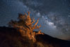 Stars and the Milky Way rise above ancient bristlecone pine trees, in the White Mountains at an elevation of 10,000' above sea level.  These are some of the oldest trees in the world, reaching 4000 years in age. Ancient Bristlecone Pine Forest, White Mountains, Inyo National Forest, California, USA. Image #27772