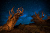 Stars and the Milky Way rise above ancient bristlecone pine trees, in the White Mountains at an elevation of 10,000' above sea level.  These are some of the oldest trees in the world, reaching 4000 years in age. Ancient Bristlecone Pine Forest, White Mountains, Inyo National Forest, California, USA. Image #27775