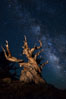 Stars and the Milky Way rise above ancient bristlecone pine trees, in the White Mountains at an elevation of 10,000' above sea level.  These are some of the oldest trees in the world, reaching 4000 years in age. Ancient Bristlecone Pine Forest, White Mountains, Inyo National Forest, California, USA. Image #27776