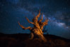 Stars and the Milky Way rise above ancient bristlecone pine trees, in the White Mountains at an elevation of 10,000' above sea level.  These are some of the oldest trees in the world, reaching 4000 years in age. Ancient Bristlecone Pine Forest, White Mountains, Inyo National Forest, California, USA. Image #27780