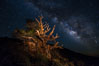 Stars and the Milky Way rise above ancient bristlecone pine trees, in the White Mountains at an elevation of 10,000' above sea level.  These are some of the oldest trees in the world, reaching 4000 years in age. Ancient Bristlecone Pine Forest, White Mountains, Inyo National Forest, California, USA. Image #27782