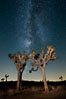 The Milky Way Galaxy shines in the night sky with a Joshua Tree silhouetted in the foreground. Joshua Tree National Park, California, USA. Image #27805